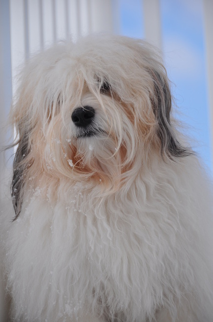 Havanese, you can't just Love one      - Home