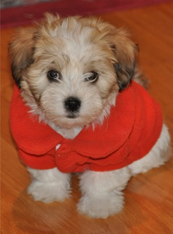 About Us Havanese You Cant Just Love One